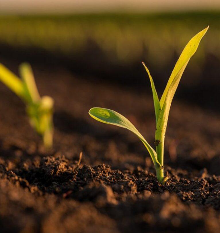 Arbolina: Novo estimulante mais resistente à seca